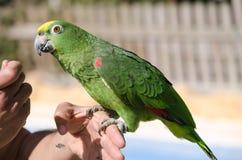 De geel-bekroonde Papegaai van Amazonië Royalty-vrije Stock Fotografie