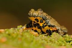 De geel-doen zwellen pad (Bombina-variegata) Royalty-vrije Stock Foto