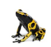 De geel-gestreepte Kikker van het Pijltje van het Vergift Stock Fotografie