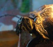 De geel-olijfschildpad detailleert beeld royalty-vrije stock afbeeldingen