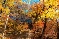 De geeloranje esdoornbladeren hebben mooie kleuren in de bergen royalty-vrije stock fotografie