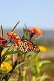 De geeloranje Vlinder van de Monarch Royalty-vrije Stock Fotografie
