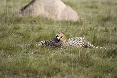 De geeuw van de jachtluipaard royalty-vrije stock afbeelding