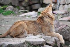 De geeuw van de leeuw Royalty-vrije Stock Afbeeldingen
