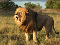 De geeuw van de leeuw. stock afbeeldingen