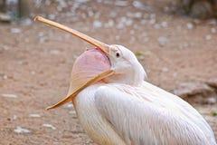 De geeuw van de pelikaan Stock Foto's