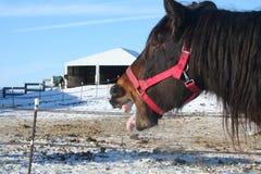De Geeuw van het paard Royalty-vrije Stock Foto