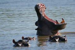 De geeuw van Hippo Royalty-vrije Stock Foto's