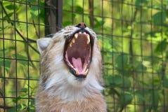 De geeuwen van de lynx Stock Afbeelding