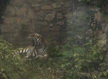 De geeuwtijger legt op een rots stock afbeeldingen