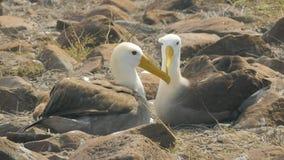 De gegolfte albatros in hartelijk stelt met bekken die in de Galapagos worden gekruist stock video