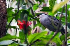 De gegroefde Reiger van de Mangrove stock afbeeldingen