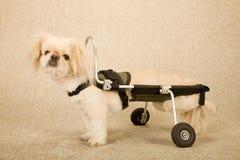 De gehandicapten verlamden puppyhond in de hondsrolstoel van de onbekwaamheidskar op beige achtergrond wordt vastgebonden die Royalty-vrije Stock Fotografie