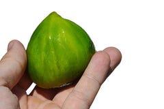 De gehele rijpe die ficus carica van het fig.fruit in volwassen mensenlinkerhand wordt gehouden op witte achtergrond royalty-vrije stock foto's