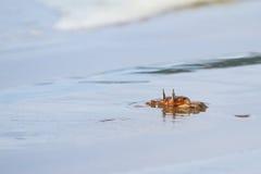 De gehoornde Krab van het Spook Stock Afbeeldingen