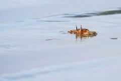 De gehoornde Krab van het Spook Stock Foto's