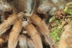 De Gehoornde tarantula van Centraal-Amerika stock afbeeldingen