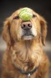 De Gehoorzaamheid van de hond Royalty-vrije Stock Afbeeldingen