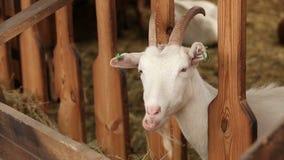 De geit bekijkt camera, close-up stock videobeelden