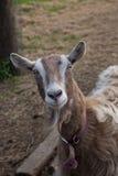 De geit bekijkt merkwaardig de camera Stock Foto