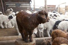 De geit die van de baby zich op stomp bevindt Royalty-vrije Stock Foto