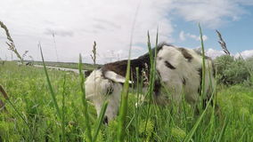 De geit eet gras stock footage