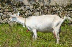 De geit eet gras Royalty-vrije Stock Foto's