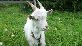 De geit eet gras stock videobeelden