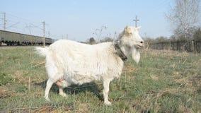 De geit eet gras stock video