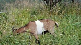 De geit eet groen gras in werf van landbouwbedrijf - Russisch dorp stock videobeelden