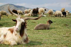 De geit en de schapen Royalty-vrije Stock Afbeelding