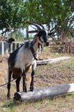 De geit in het dorp Royalty-vrije Stock Foto's