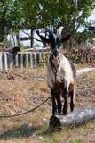 De geit in het dorp Royalty-vrije Stock Afbeelding