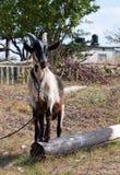 De geit in het dorp Stock Afbeeldingen