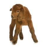 De geit of het jonge geitje van de baby royalty-vrije stock afbeeldingen