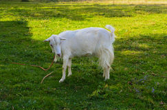 De geit is het oudste huisdier Royalty-vrije Stock Foto