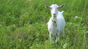 De geit kauwt, stellend en mediterend op het gazon stock video