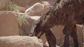 De geit knaagt aan op installaties in Petra Jordan stock videobeelden