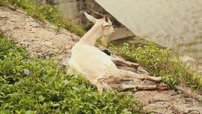 De geit ligt en geeft geboorte aan haar kind op het gras door de vijver Geboorten in geiten stock video