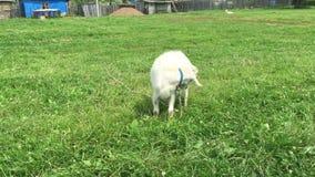 De geit met een baard weidt op een kabel stock videobeelden