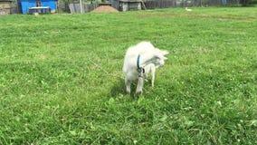 De geit met een baard weidt op een kabel stock video
