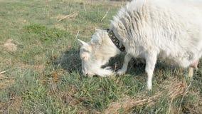 De geit op Weiland eet gras stock footage