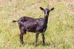 De geit in Santiago doet Cacem Royalty-vrije Stock Foto's