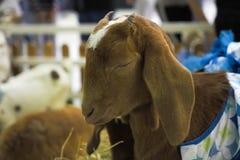 De geit is slaap in landbouwbedrijf Royalty-vrije Stock Foto's