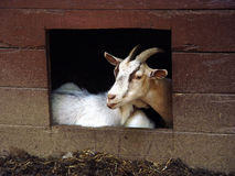 De geit stelt Royalty-vrije Stock Fotografie