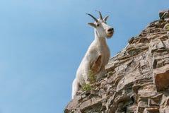 De Geit van de berg in het Nationale Park van de Gletsjer royalty-vrije stock afbeelding