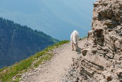 De Geit van de berg in het Nationale Park van de Gletsjer stock afbeeldingen
