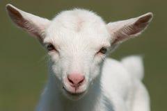 De geit van de baby Royalty-vrije Stock Foto's