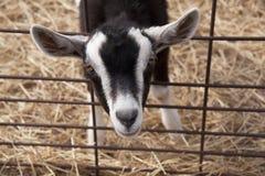 De geit van de baby Stock Foto's
