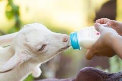 De geit van de baby Stock Afbeelding